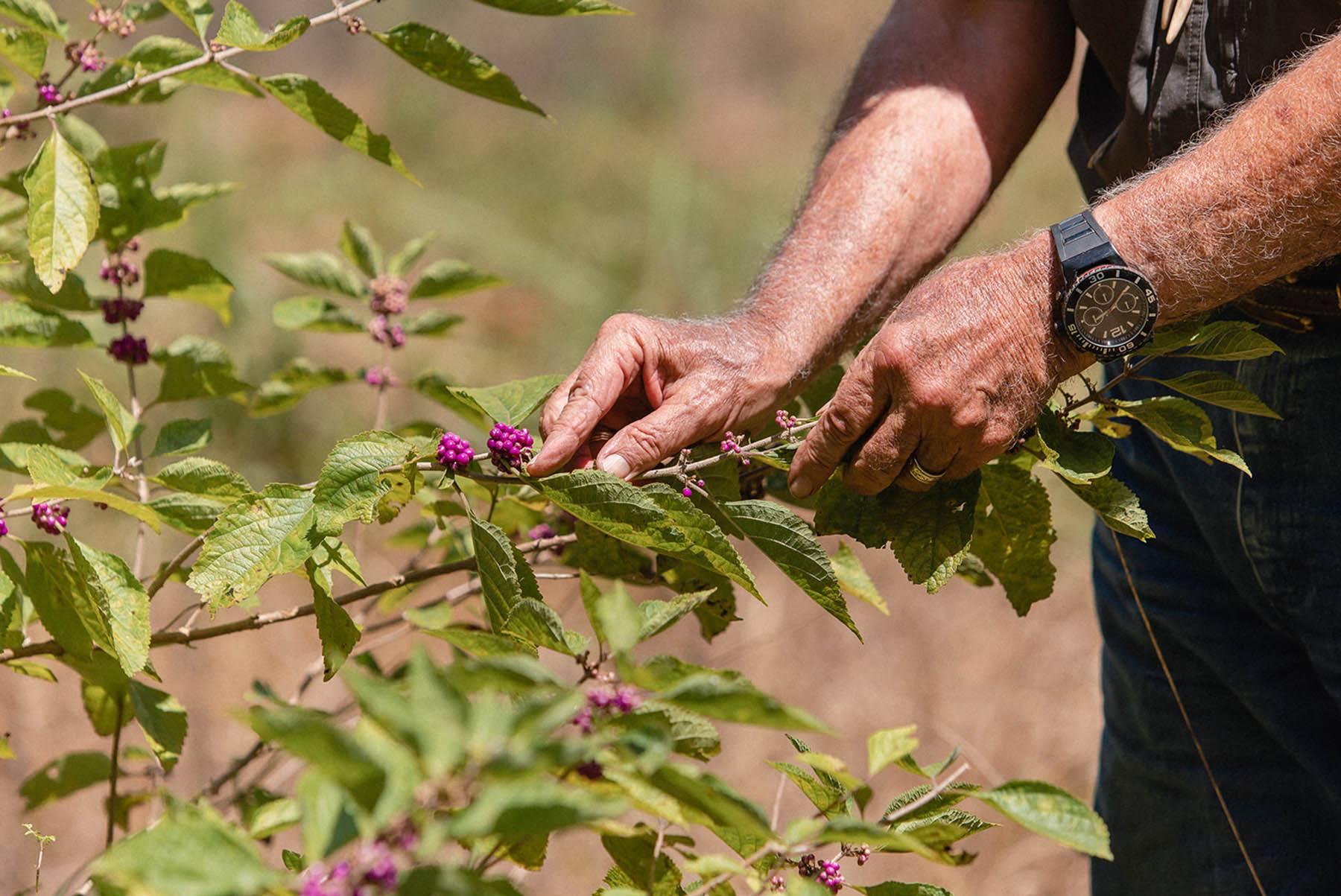 Wildtree | Summer berries on the vine that deer love