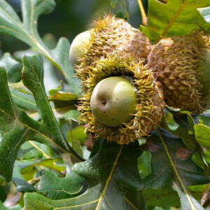 Bur Oak Tree for sale oak acorns