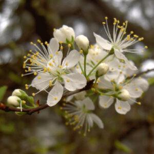 Chickasaw Plum Tree Blooms