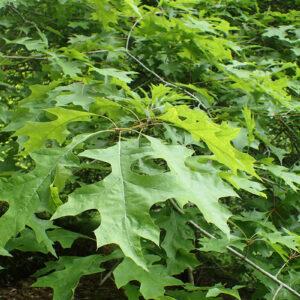 Nuttail Oak Leaves Close Up