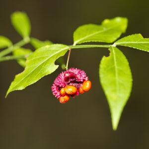 Strawberry Bush Budding for sale