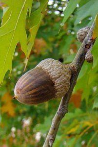 A Pretty Large Acorn on a Nuttal Oak tree