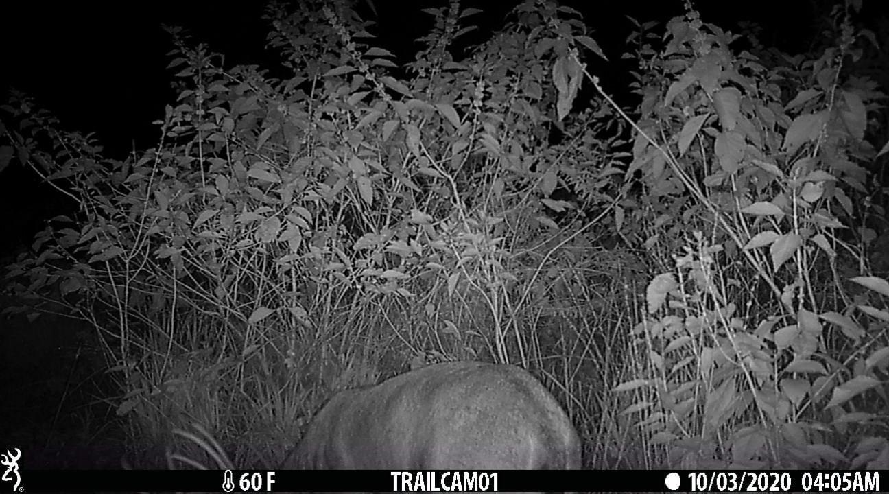 hunting cameras large buck feeding