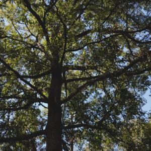 sawtooth oak tree mature