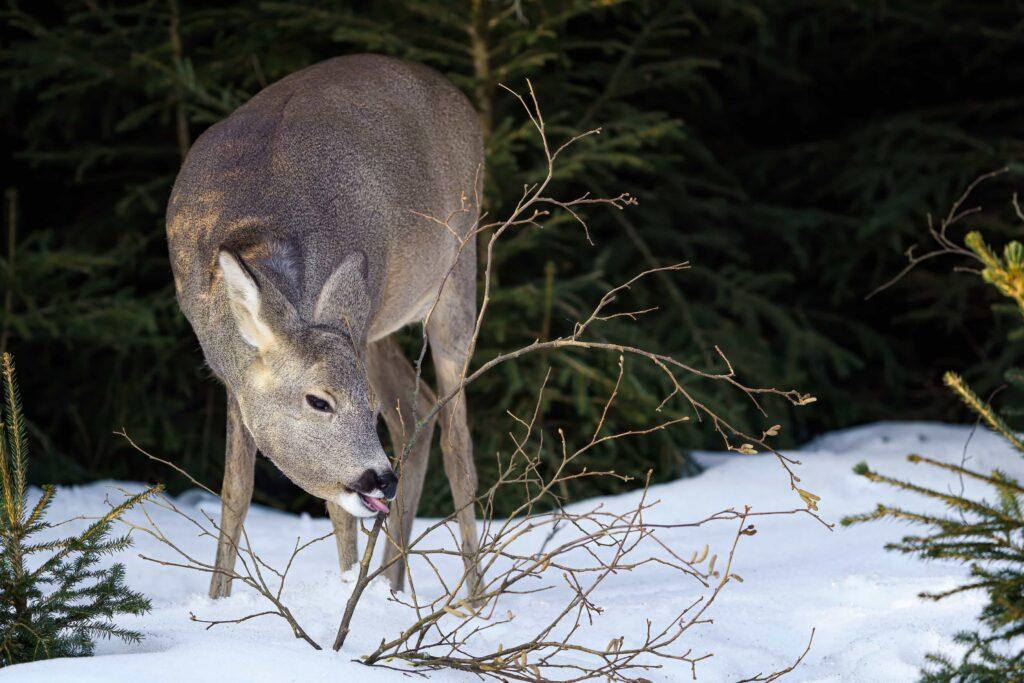 Deer Eats Grass Through the Winter | Wildtree, providers of wildlife-preferred trees & shrubs